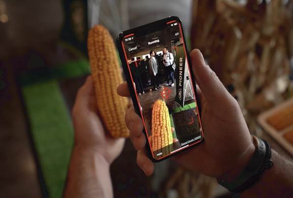 A corncob being analysed by an artificial intelligence through the smartphone
